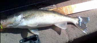 Cheney Walleye Caught